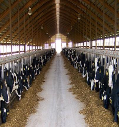 Освещение для молочных пород коров