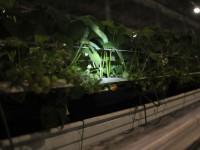 Тепличне господарство (вирощування полуниці), Чернівці
